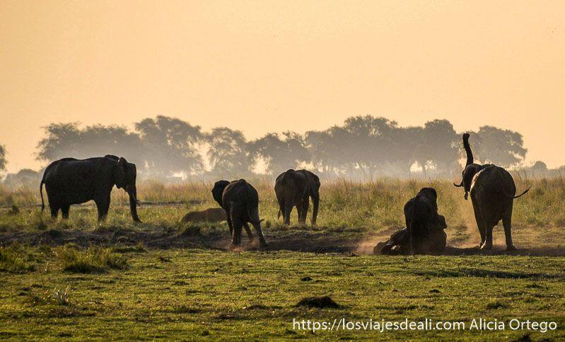 elefantes y puesta de sol en parque nacional de chobe