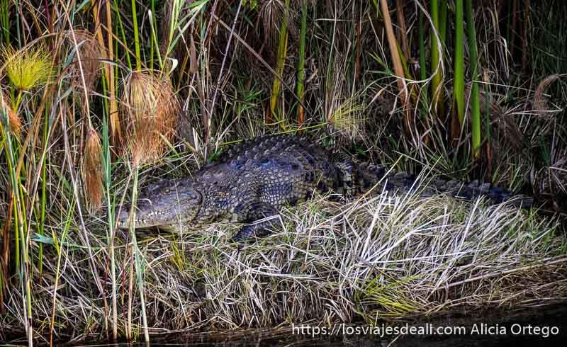 cocodrilo en el delta del okavango