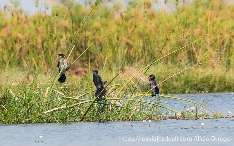 ecosistema del delta del okavango cormoranes
