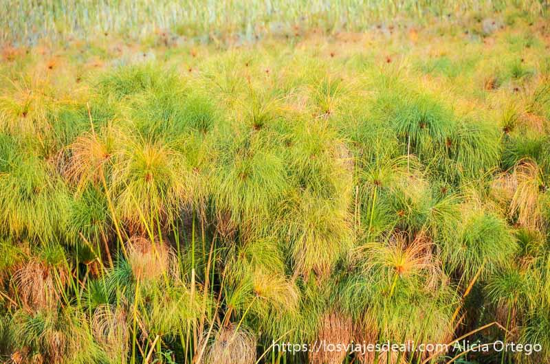 papiros en el delta del okavango