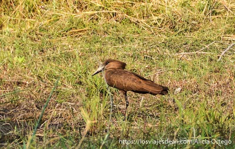 pájaro martillo en el delta del okavango