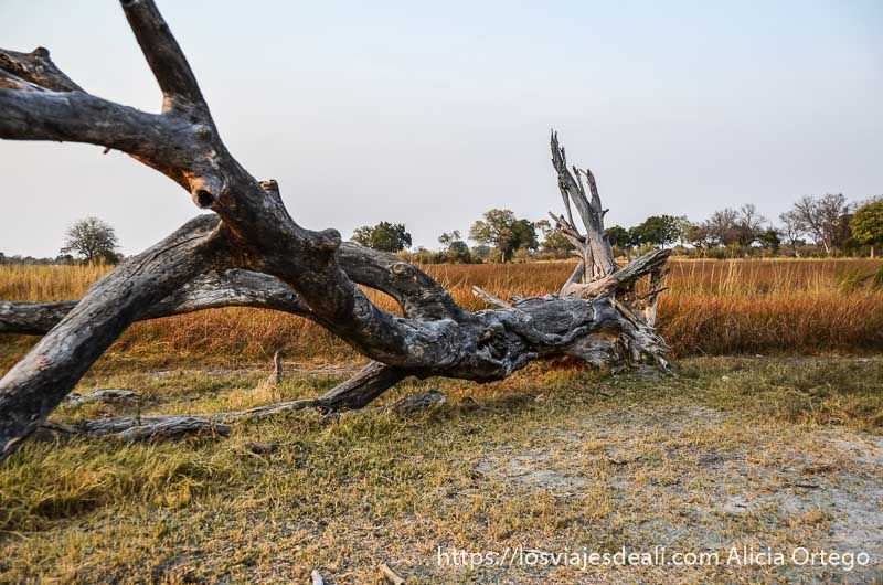 paseo por una isla del delta del okavango_