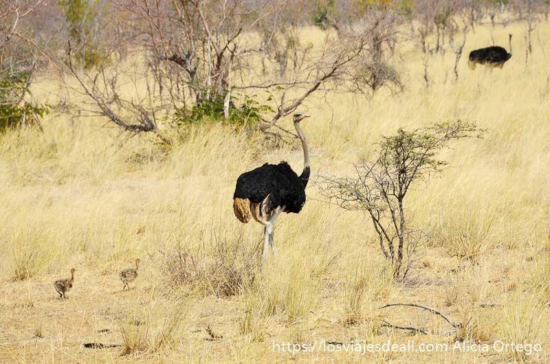 avestruz con sus crías en botsuana