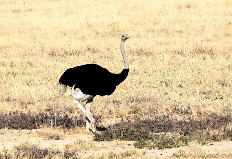 avestruz en Etosha