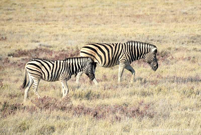 cebras en Etosha viajando se rompen tópicos