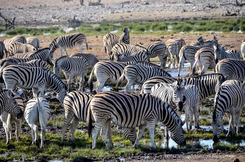 cebras bebiendo agua en Etosha