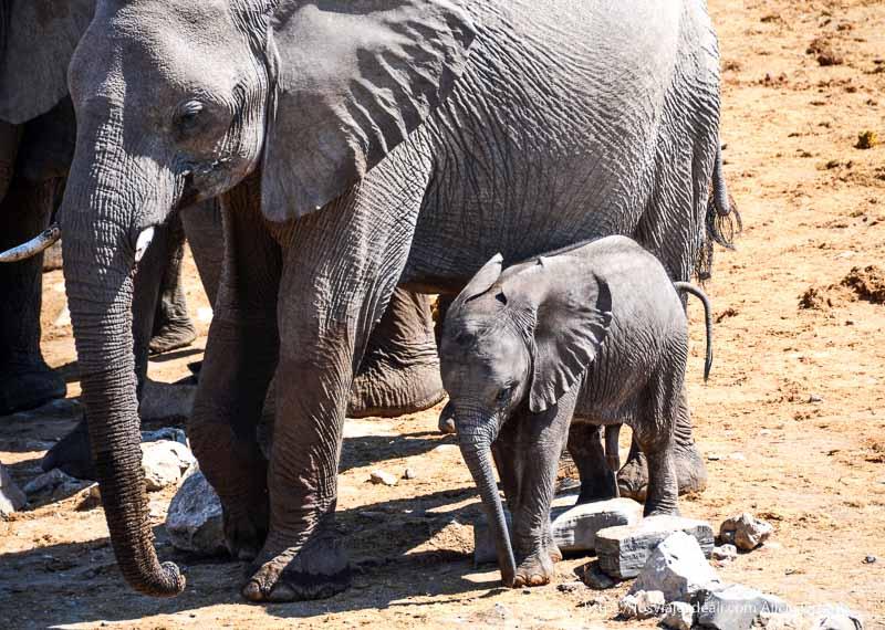 elefante recién nacido en Etosha