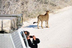 guepardo en parque nacional de Etosha siendo fotografiado por un turista desde el coche