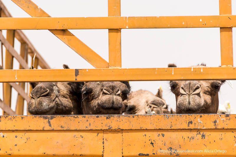 camellos en camión en Sudán