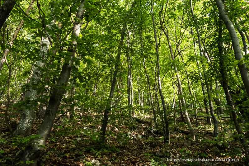 bosque de hayas que rodea Brasov