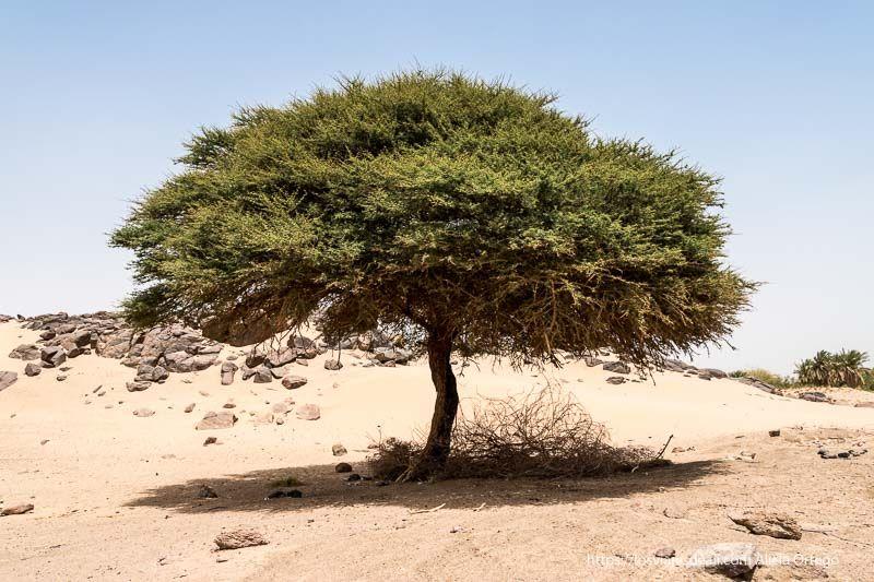 acacia de espinas junto al Nilo en Sudán