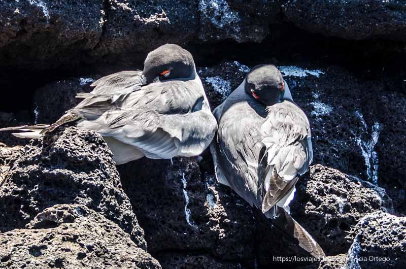 gaviotas con párpado rojo durmiendo en isla seymour