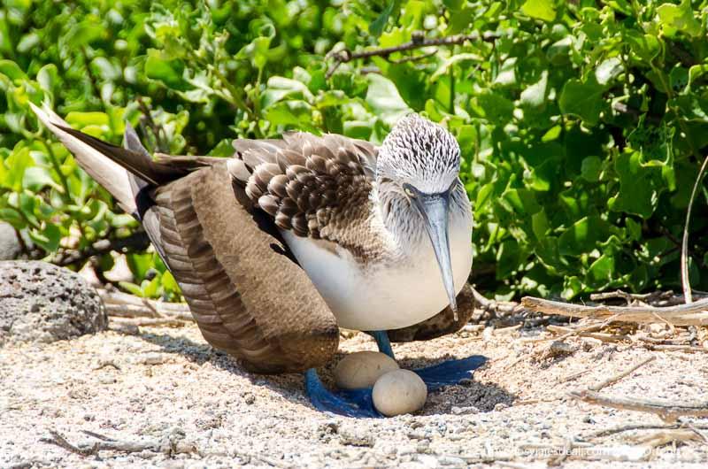 piquero de patas azules cuidando sus huevos