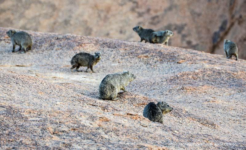 grupo de damanes una especie de ratas