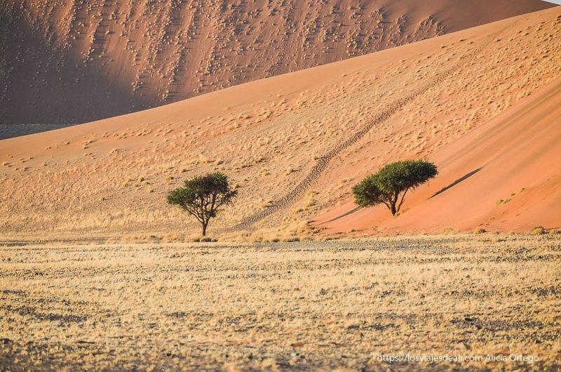 acacias entre dunas en el amanecer
