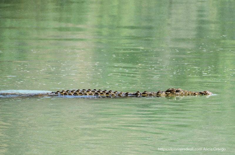 cocodrilo en el río junto a cataratas epupa