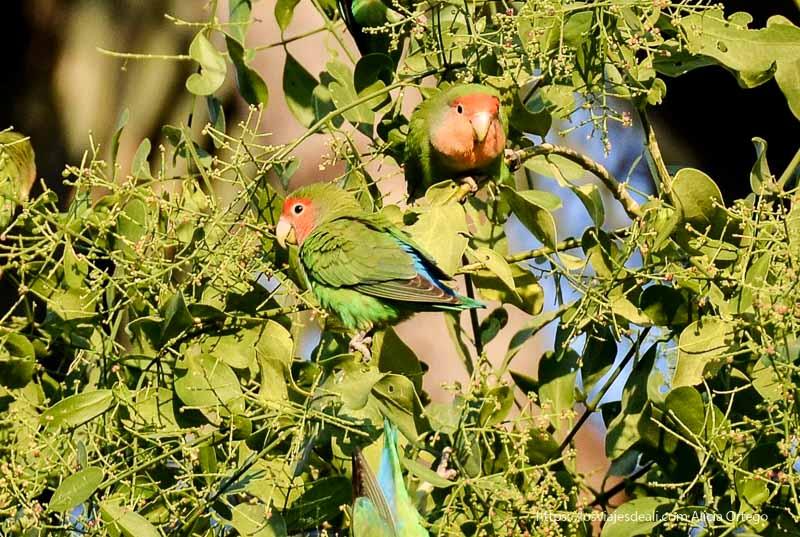 love birds o periquitos de color verde y cara rojiza