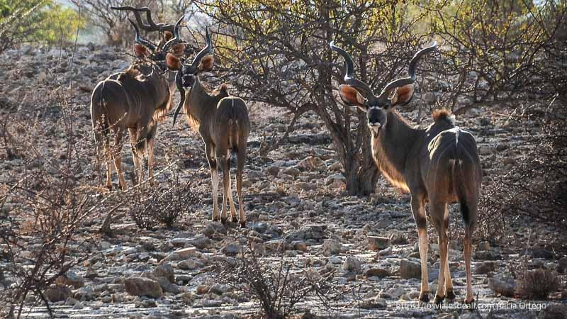 tres kudus mirando a la cámara