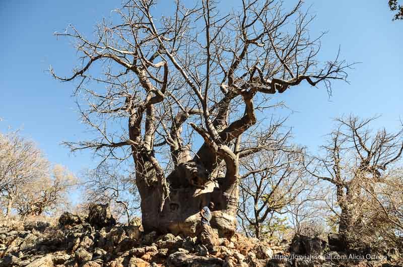 un gran baobab de camino a cataratas epupa