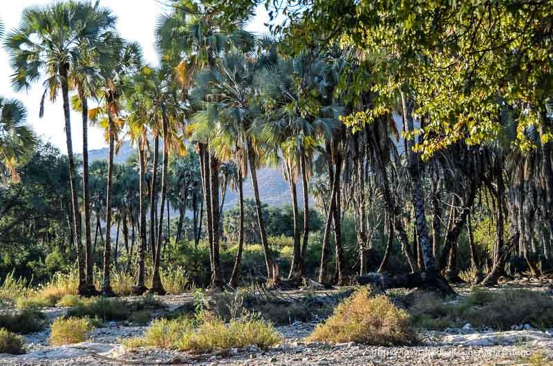 palmeras junto al río en cataratas epupa