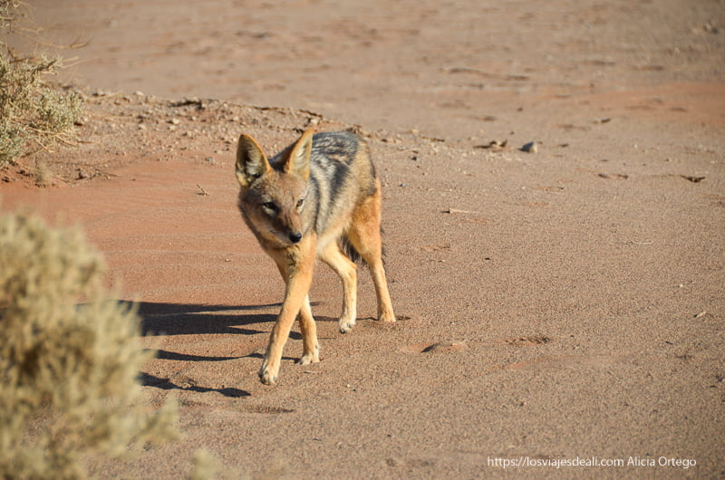 chacal del desierto en Namibia