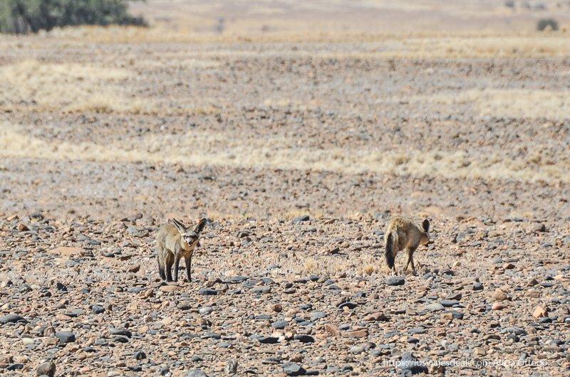 zorros del desierto en campo de piedras en Namibia