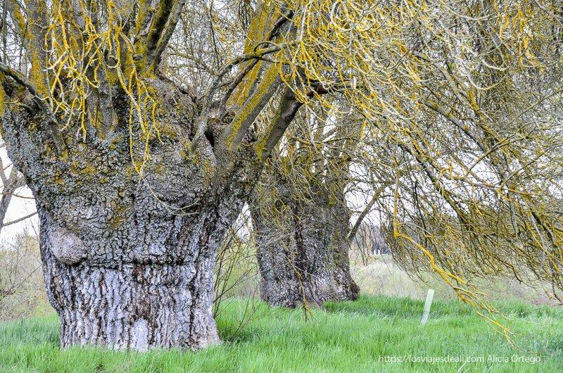 enormes árboles en pueblos de segovia