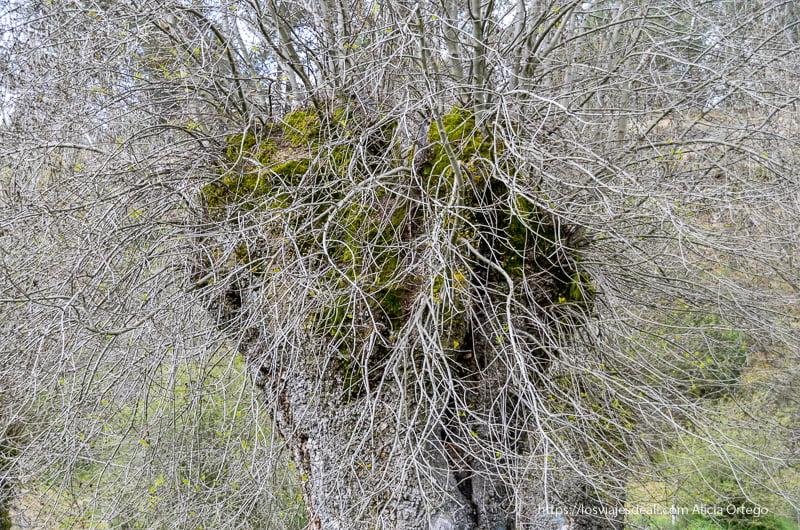 árbol sin hojas lleno de ramas finas