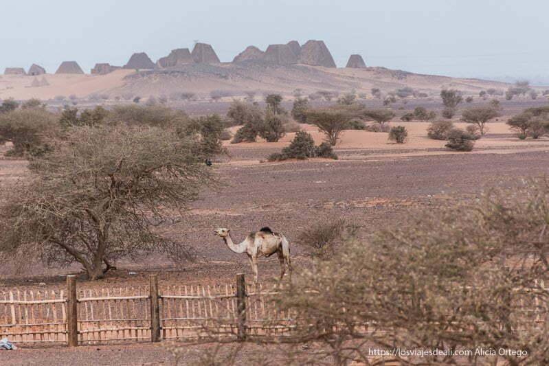 pirámides de Meroe desde el campamento con un camello en primer término
