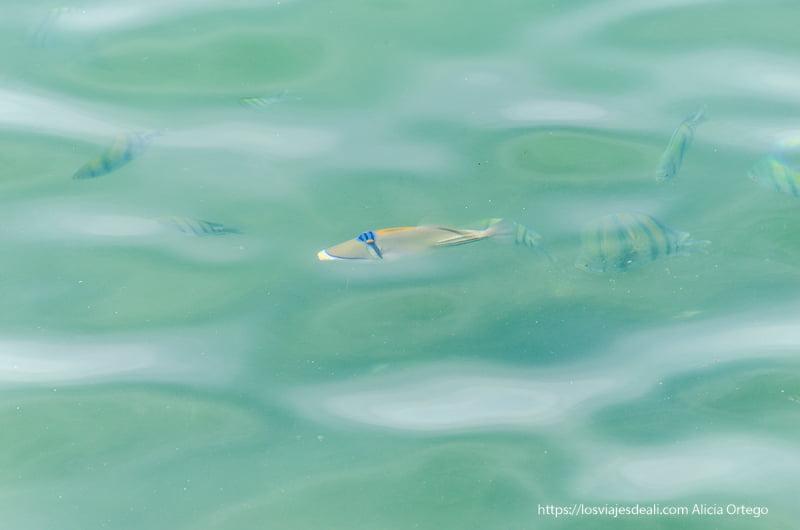 peces tropicales en el agua del puerto de muscat