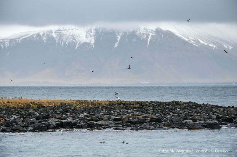 islote de frailecillos con una enorme montaña nevada al fondo en la excursión buscando ballenas en islandia
