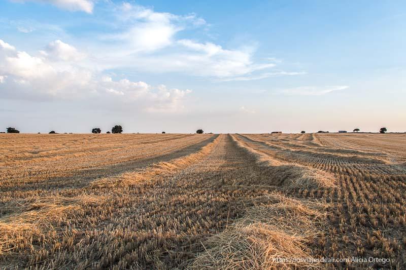 campos de trigo segados formando líneas convergentes hacia el horizonte por fin vacaciones