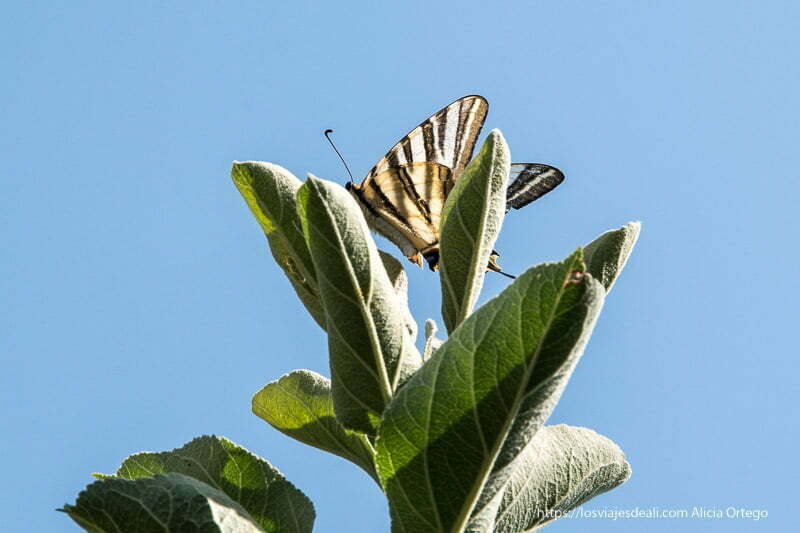 gran mariposa de rayas negras posada sobre hojas de árbol