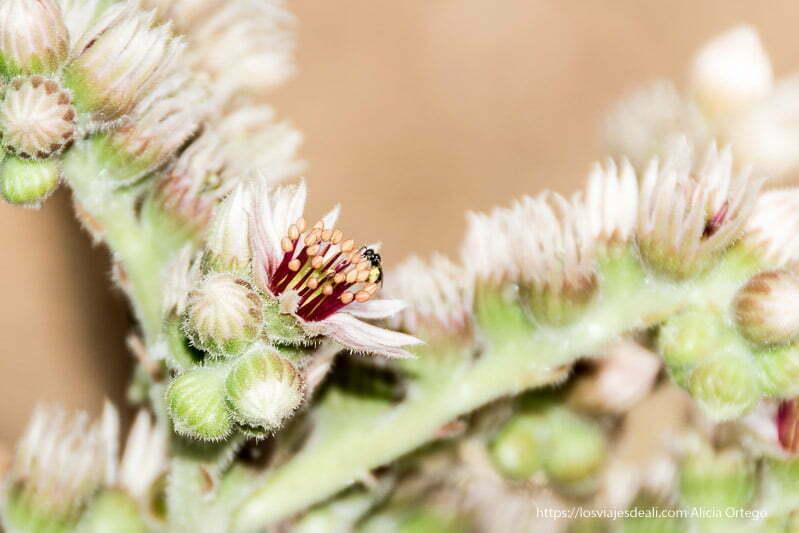insecto libando en flor de siempreviva por fin vacaciones