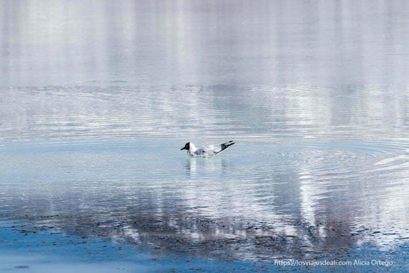 gaviota andina blanca con cabeza negra en el agua de una laguna donde se refleja la montaña