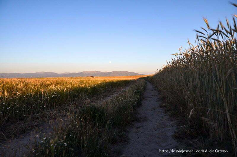 camino entre campos de espigas con luz de atardecer campos de castilla
