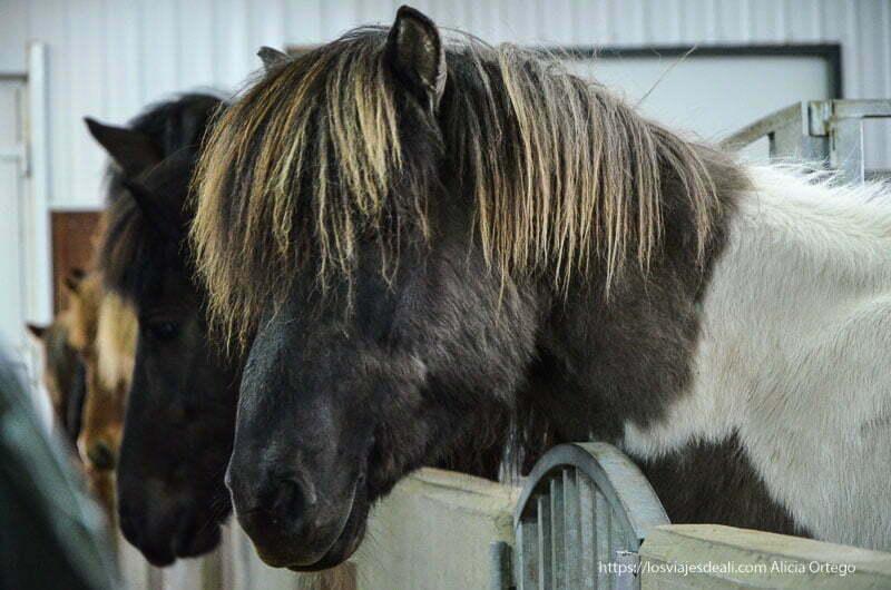 caballos tipo pony típicos cultura islandesa