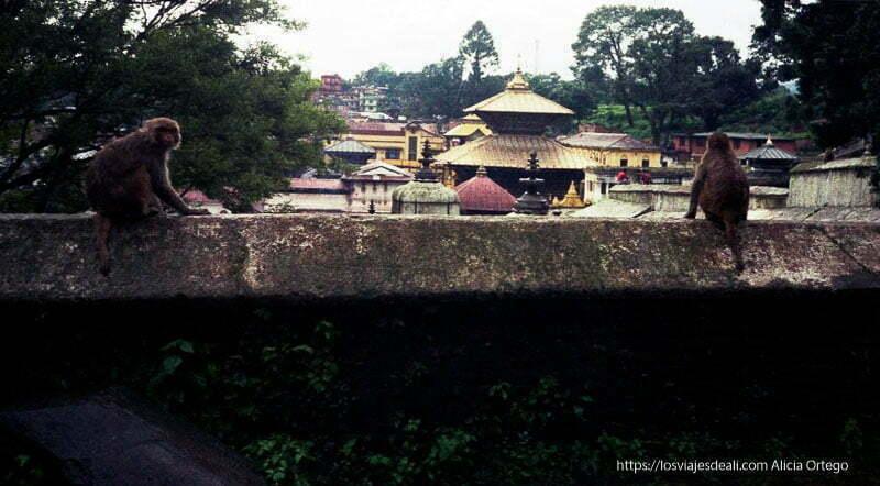 tejados dorados del templo de shiva y monos en primer plano uno mirando a la cámara nepal
