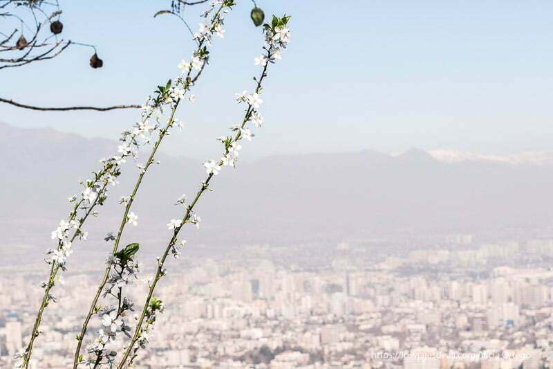 vistas de santiago de chile con tres ramas de flores de almendro en primer plano