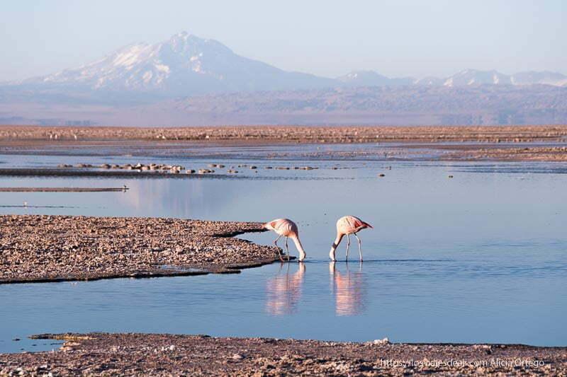 dos flamencos comiendo en el salar con volcanes al fondo viajar al desierto de atacama