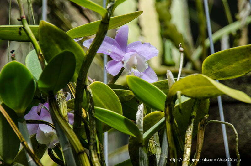 orquídea de color malva en el real Jardín Botánico de Madrid