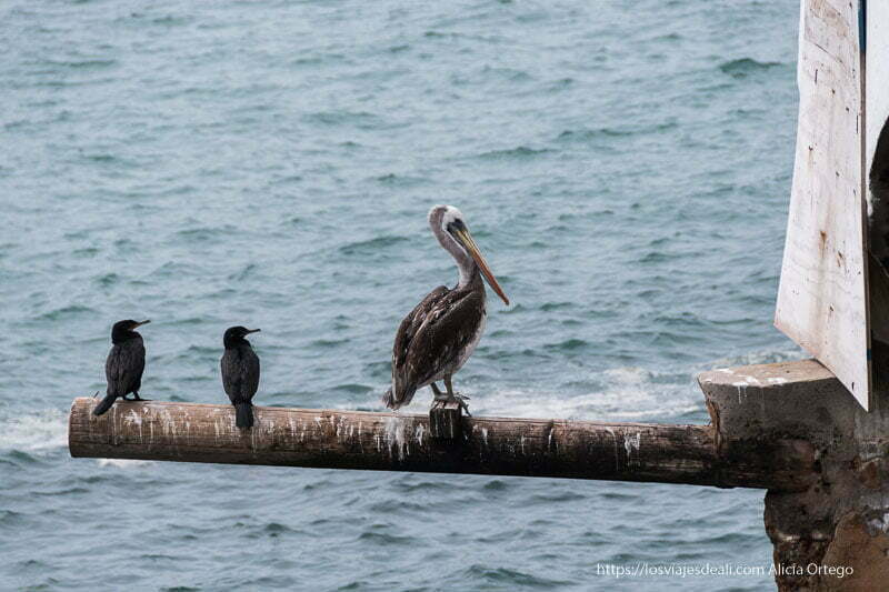 pelícanos sobre poste de madera Viña del mar y valparaíso