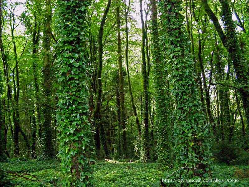bosque de Cong con árboles cubiertos de hiedra muy verde