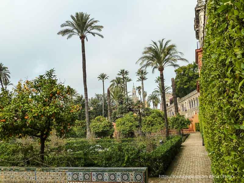 jardines del alcázar de sevilla con palmeras y naranjos