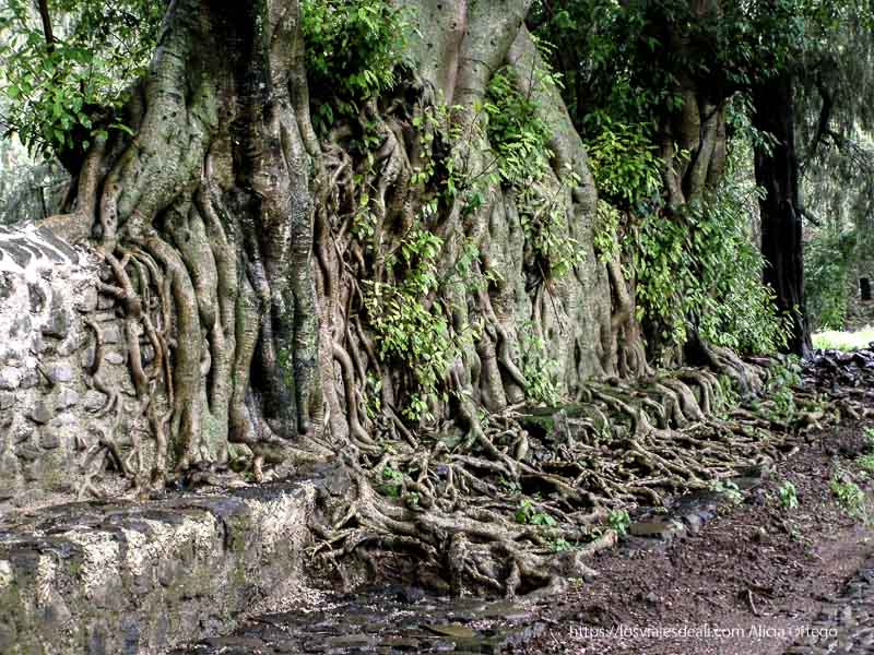 raíces de árboles cubriendo un muro gondar