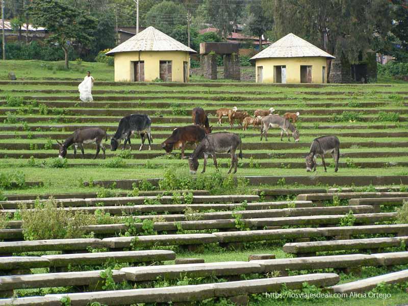 burritos comiendo hierba en las gradas frente a baños de fasilidas gondar