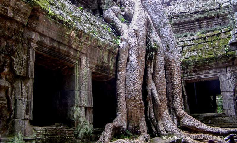 raíces de árbol gigantes comiéndose las ruinas de Angkor