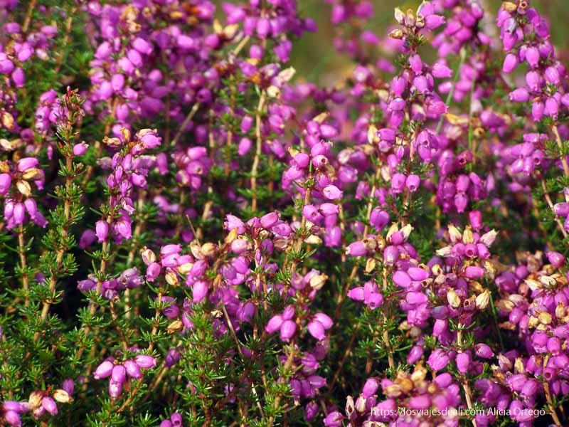 flores de color fucsia en costa este de irlanda