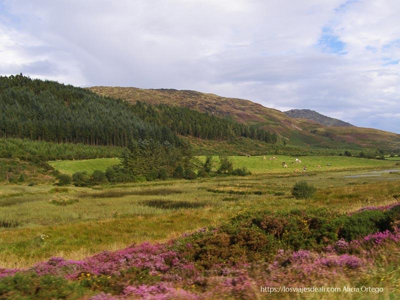 montañas con flores rosas costa este de irlanda