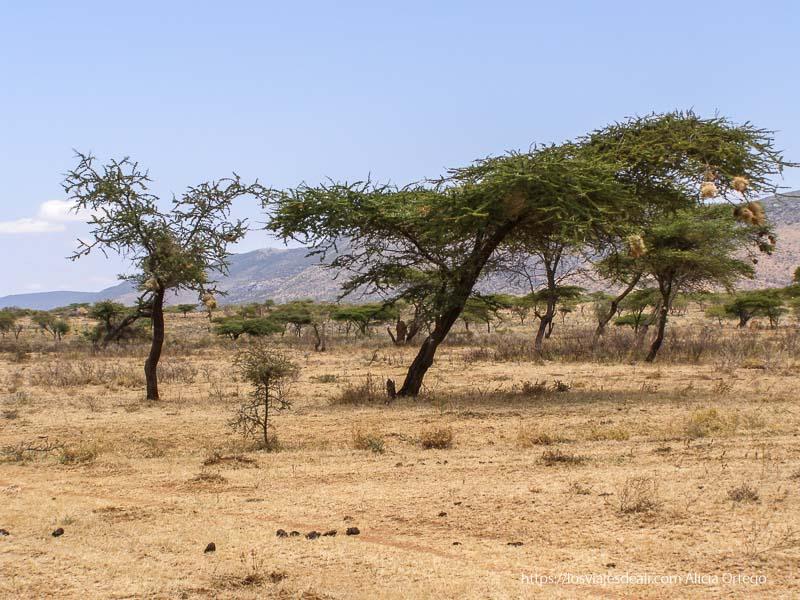 paisaje con acacias y nidos cerca de el sod